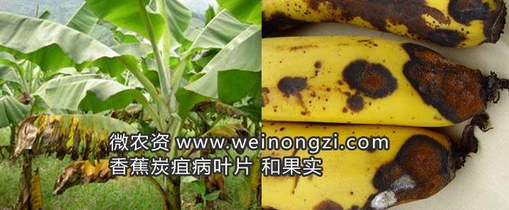 香蕉树炭疽病分级标准