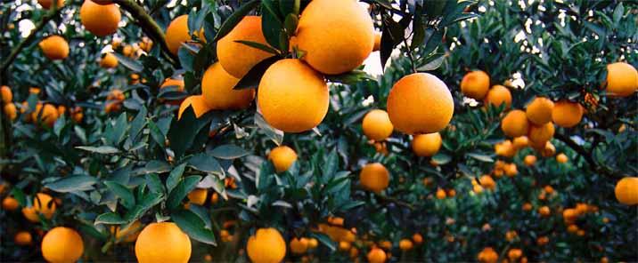 通常柑橘树的向阳部位较荫蔽部位发病重
